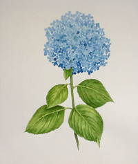 Hydrangea, Nikko Blue