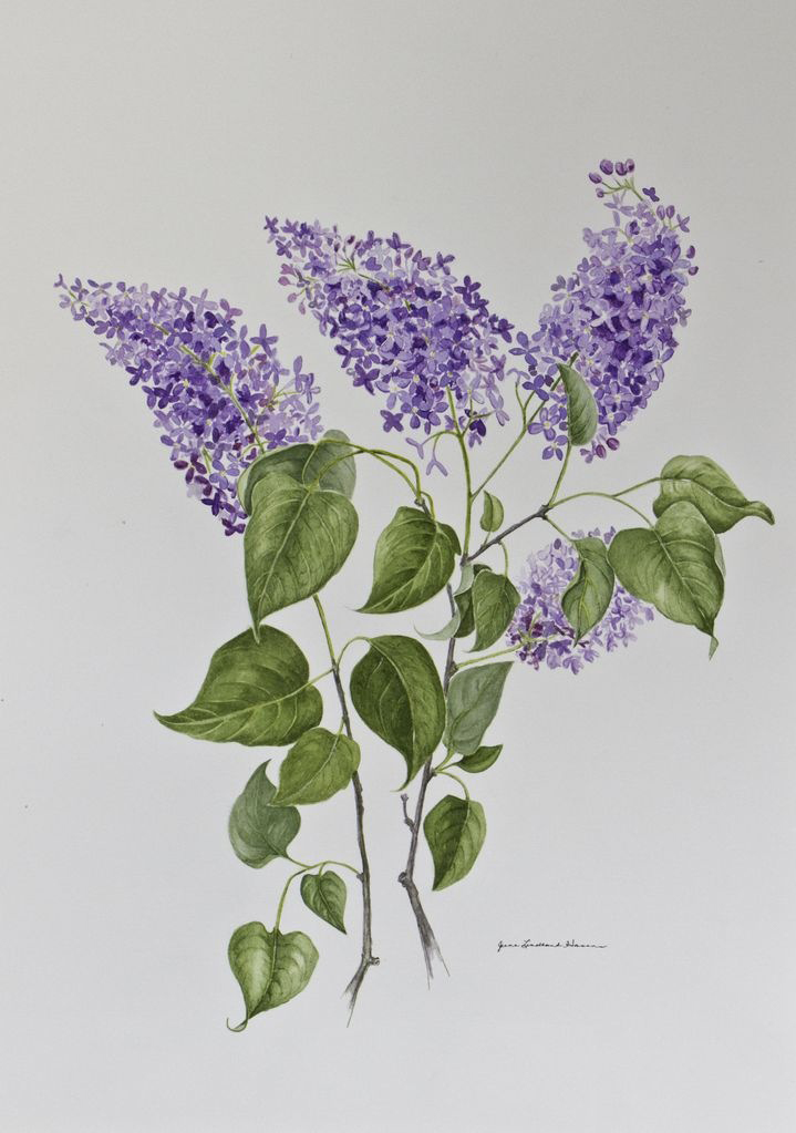 the Classic Lilac